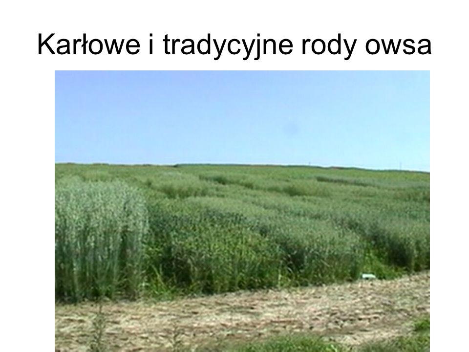 Karłowe i tradycyjne rody owsa