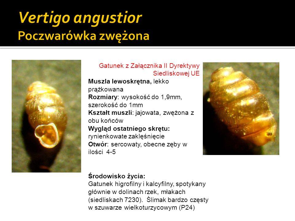 Vertigo angustior Poczwarówka zwężona