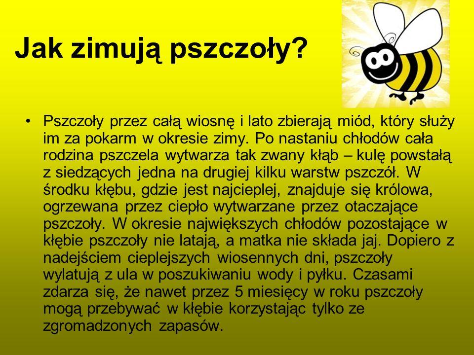 Jak zimują pszczoły