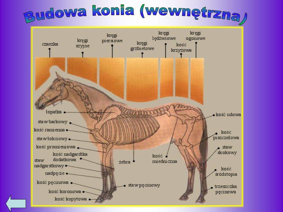 Budowa konia (wewnętrzna)