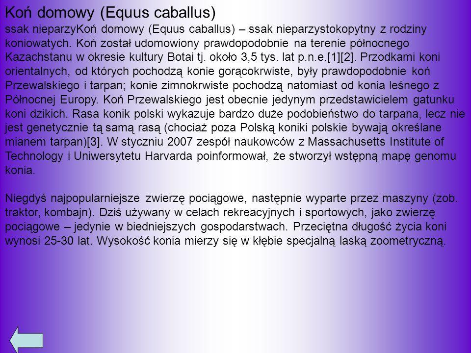 Koń domowy (Equus caballus)