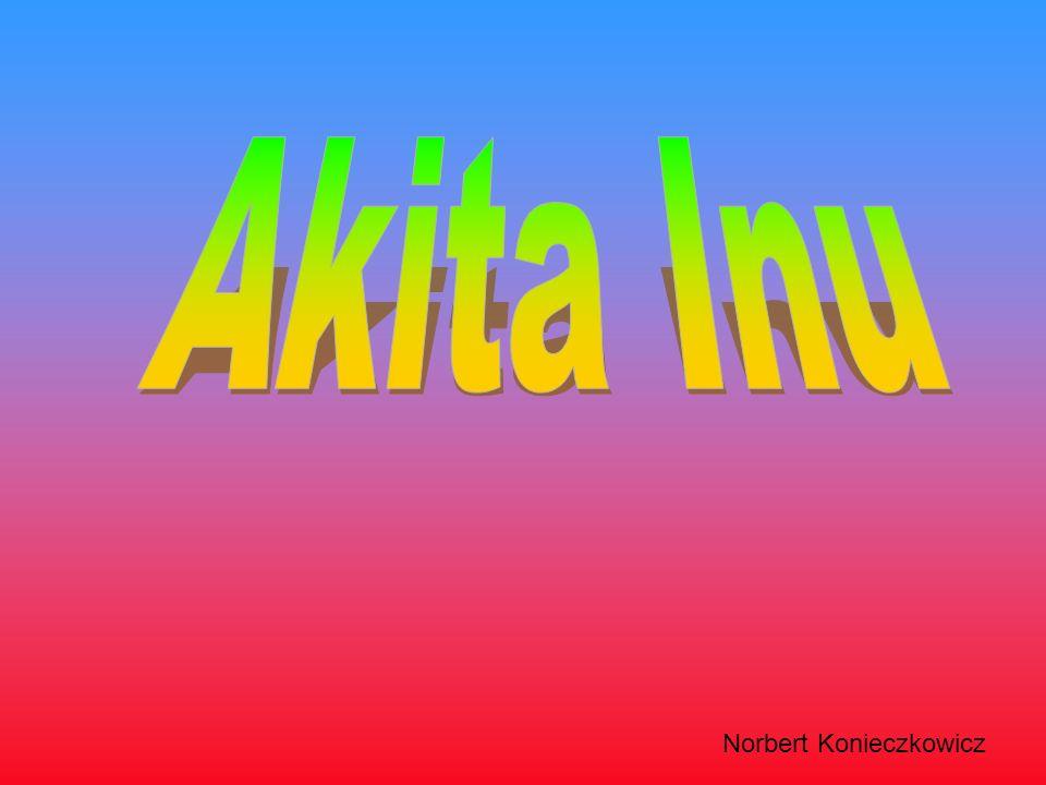Akita Inu Norbert Konieczkowicz