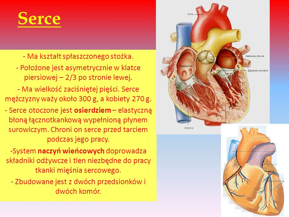 Serce - Ma kształt spłaszczonego stożka.