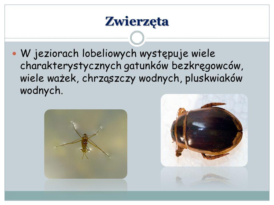 Zwierzęta W jeziorach lobeliowych występuje wiele charakterystycznych gatunków bezkręgowców, wiele ważek, chrząszczy wodnych, pluskwiaków wodnych.
