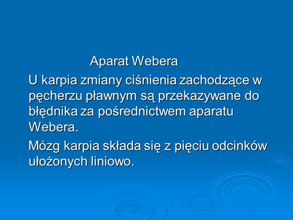 Aparat Webera U karpia zmiany ciśnienia zachodzące w pęcherzu pławnym są przekazywane do błędnika za pośrednictwem aparatu Webera.