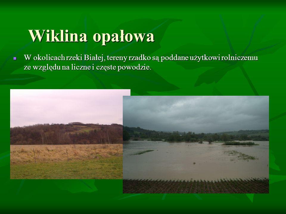 Wiklina opałowaW okolicach rzeki Białej, tereny rzadko są poddane użytkowi rolniczemu ze względu na liczne i częste powodzie.