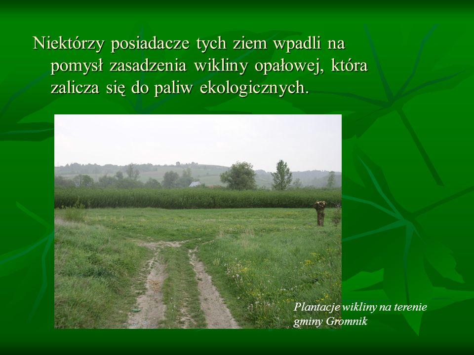 Niektórzy posiadacze tych ziem wpadli na pomysł zasadzenia wikliny opałowej, która zalicza się do paliw ekologicznych.