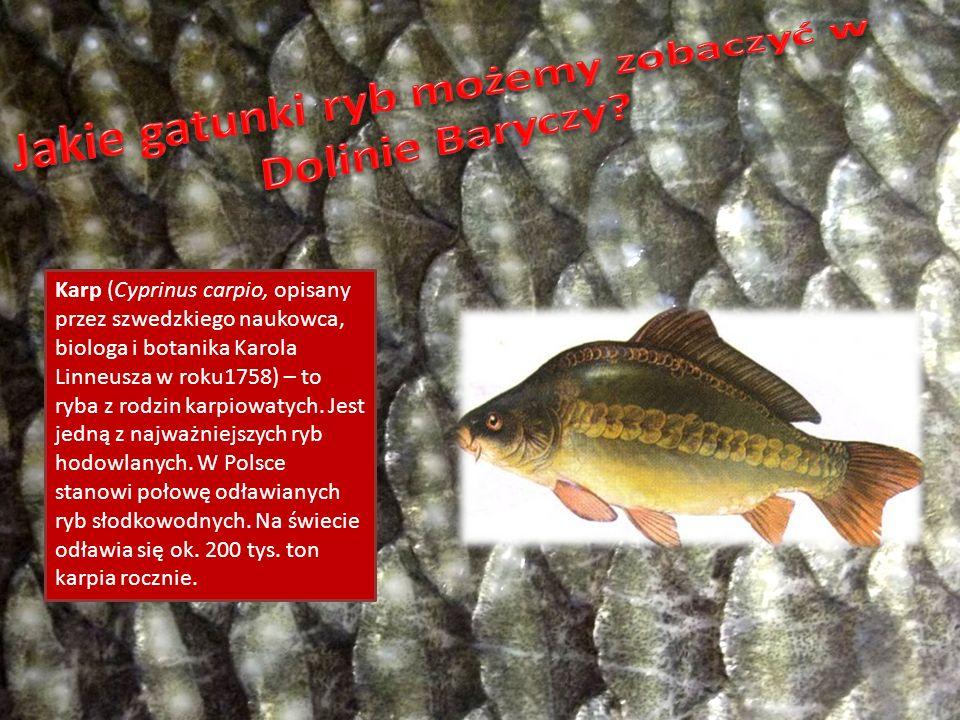 Jakie gatunki ryb możemy zobaczyć w Dolinie Baryczy