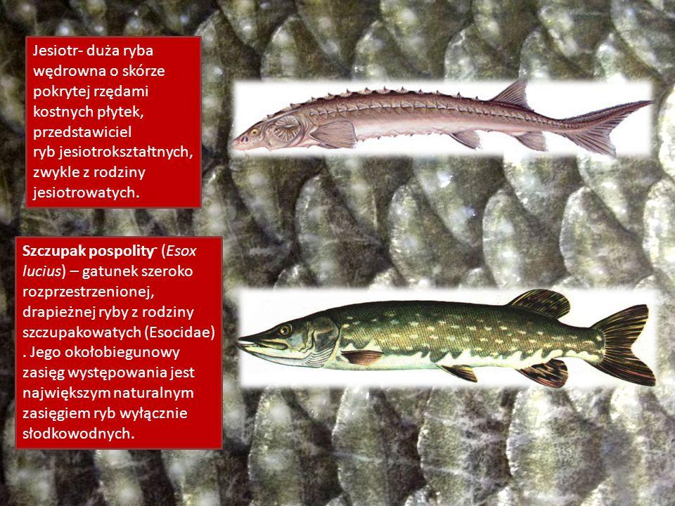 Jesiotr- duża ryba wędrowna o skórze pokrytej rzędami kostnych płytek, przedstawiciel ryb jesiotrokształtnych, zwykle z rodziny jesiotrowatych.