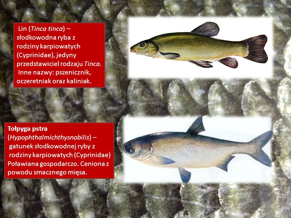 Lin (Tinca tinca) – słodkowodna ryba z rodziny karpiowatych