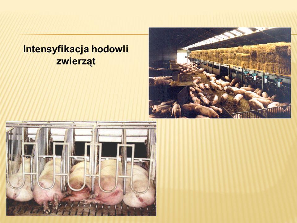Intensyfikacja hodowli zwierząt