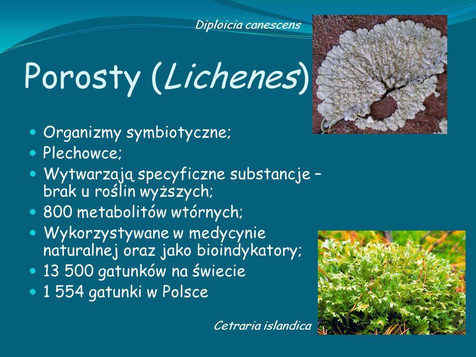 Porosty (Lichenes) Organizmy symbiotyczne; Plechowce;