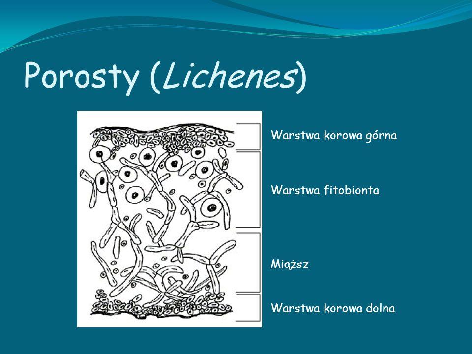 Porosty (Lichenes) Warstwa korowa górna Warstwa fitobionta Miąższ