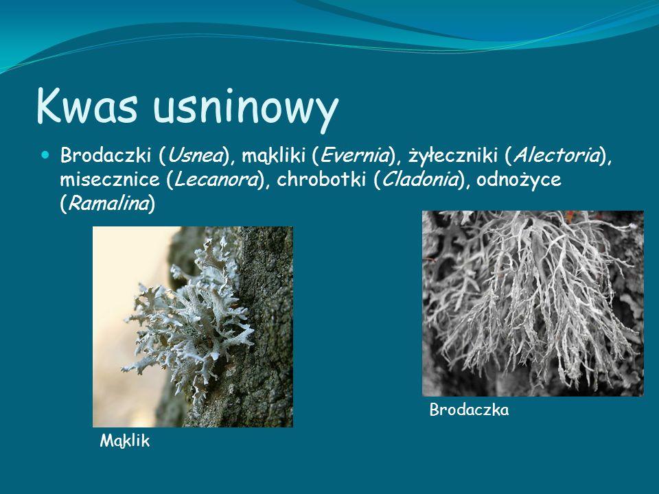 Kwas usninowy Brodaczki (Usnea), mąkliki (Evernia), żyłeczniki (Alectoria), misecznice (Lecanora), chrobotki (Cladonia), odnożyce (Ramalina)