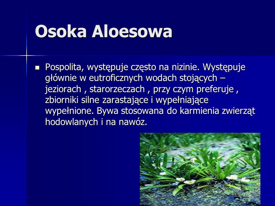 Osoka Aloesowa