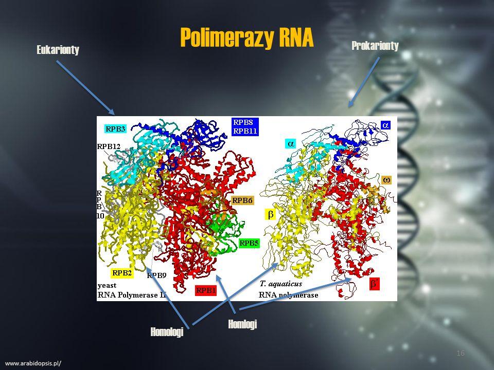 Polimerazy RNA Prokarionty Eukarionty Homlogi Homologi