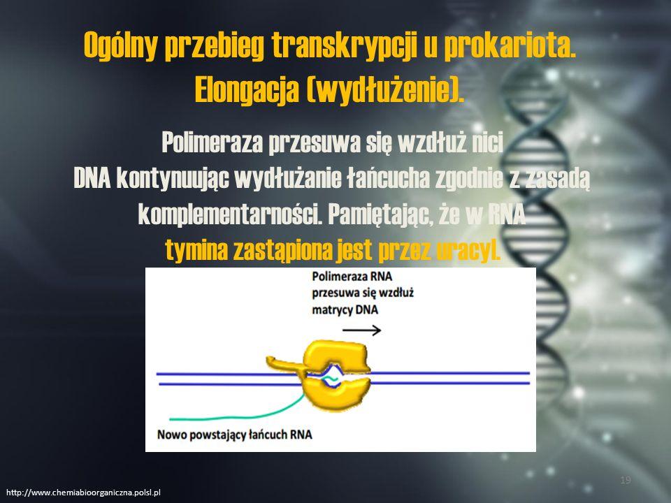 Ogólny przebieg transkrypcji u prokariota. Elongacja (wydłużenie).