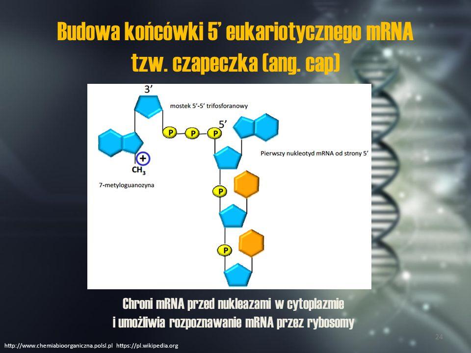 Budowa końcówki 5' eukariotycznego mRNA tzw. czapeczka (ang. cap)