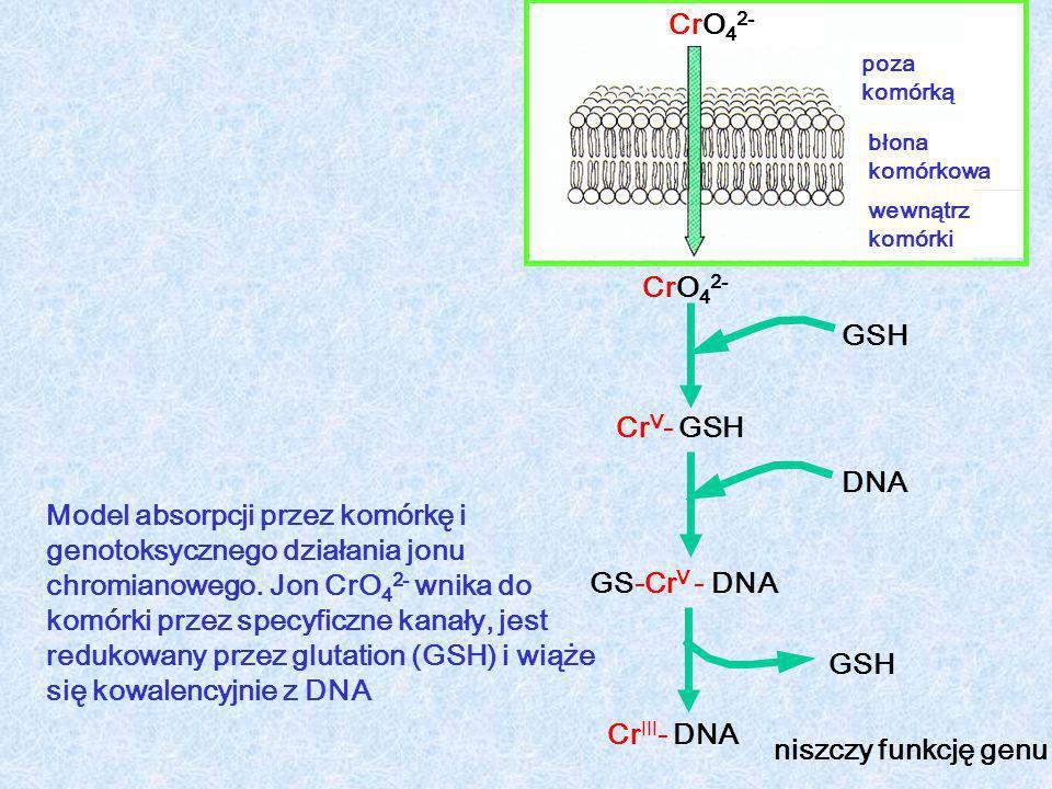 CrO42- CrO42- GSH CrV- GSH DNA