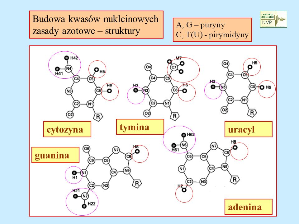 Budowa kwasów nukleinowych zasady azotowe – struktury