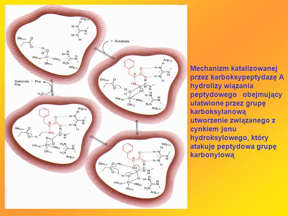 Mechanizm katalizowanej przez karboksypeptydazę A hydrolizy wiązania peptydowego obejmujący ułatwione przez grupę karboksylanową utworzenie związanego z cynkiem jonu hydroksylowego, który atakuje peptydowa grupę karbonylową