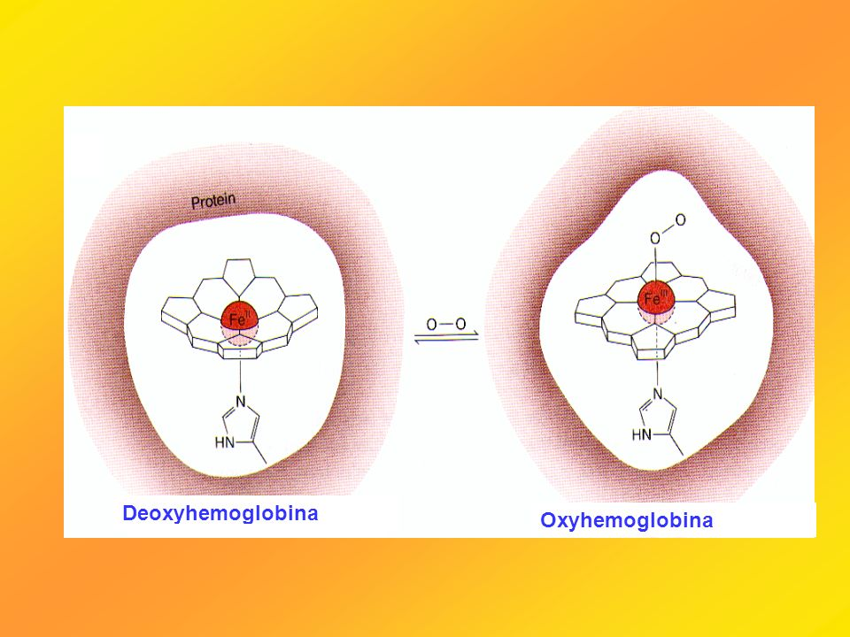 Deoxyhemoglobina Oxyhemoglobina