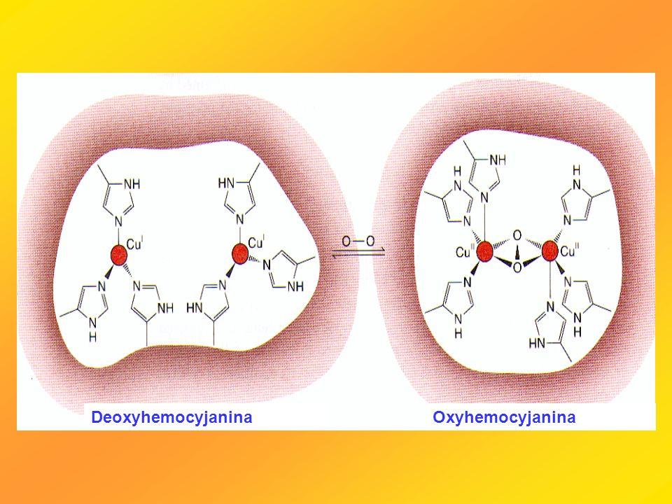 Deoxyhemocyjanina Oxyhemocyjanina