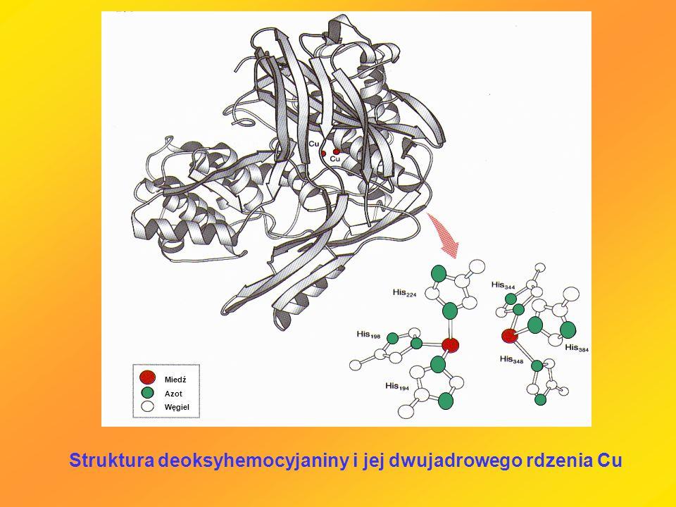 Struktura deoksyhemocyjaniny i jej dwujadrowego rdzenia Cu