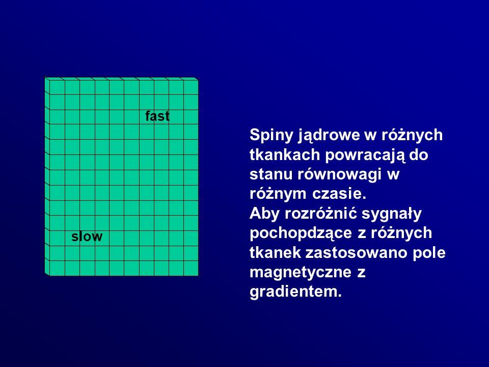 fast Spiny jądrowe w różnych tkankach powracają do stanu równowagi w różnym czasie.