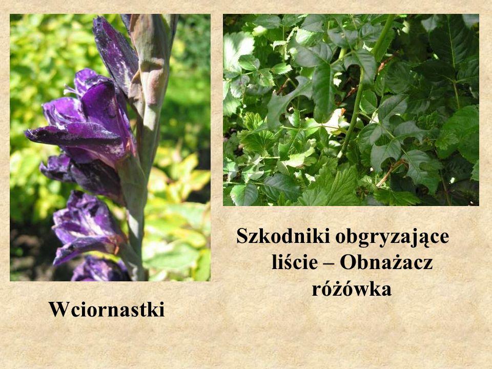 Szkodniki obgryzające liście – Obnażacz różówka