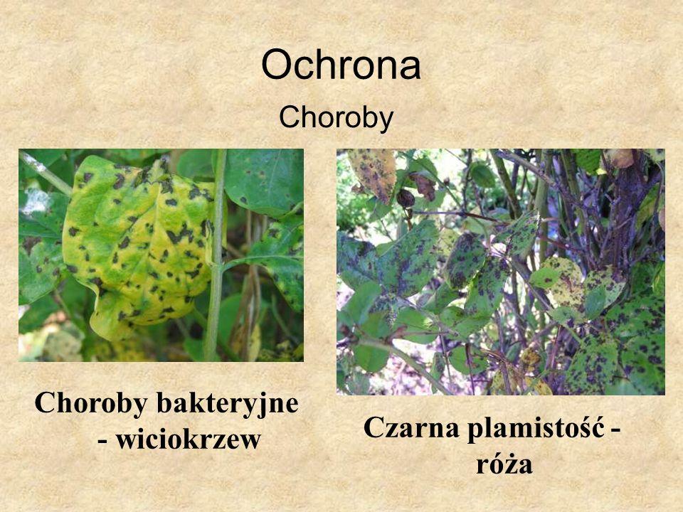 Choroby bakteryjne - wiciokrzew Czarna plamistość - róża