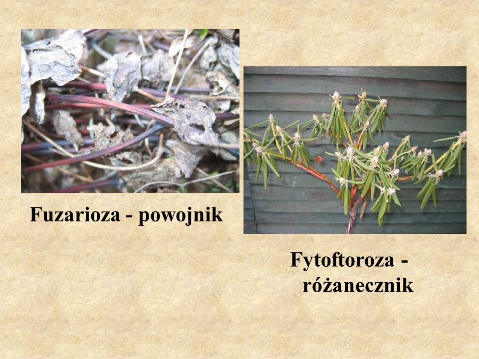 Fytoftoroza - różanecznik