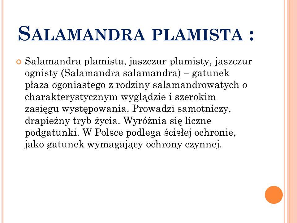 Salamandra plamista :