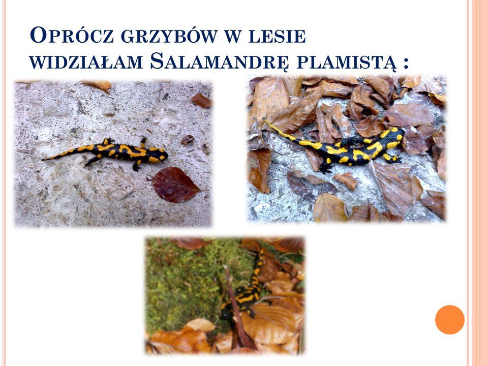 Oprócz grzybów w lesie widziałam Salamandrę plamistą :