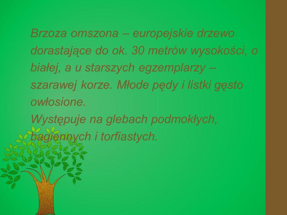 Brzoza omszona – europejskie drzewo