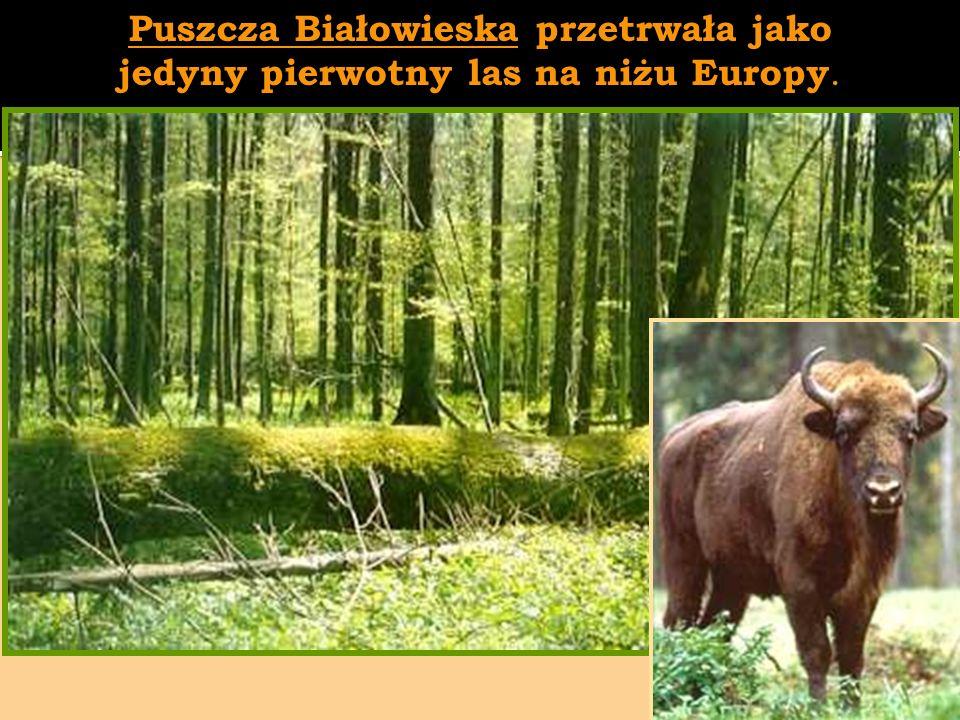 Puszcza Białowieska przetrwała jako jedyny pierwotny las na niżu Europy.