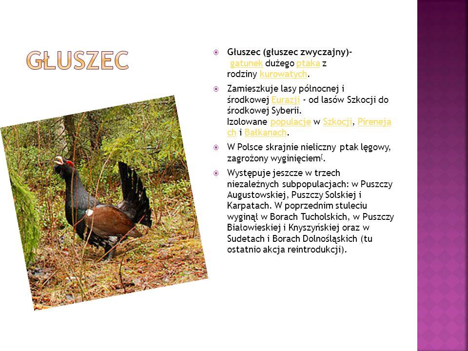 Głuszec Głuszec (głuszec zwyczajny)– gatunek dużego ptaka z rodziny kurowatych.
