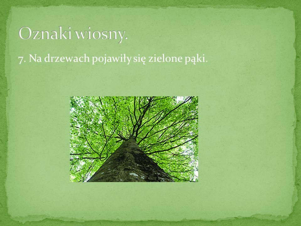 Oznaki wiosny. 7. Na drzewach pojawiły się zielone pąki.