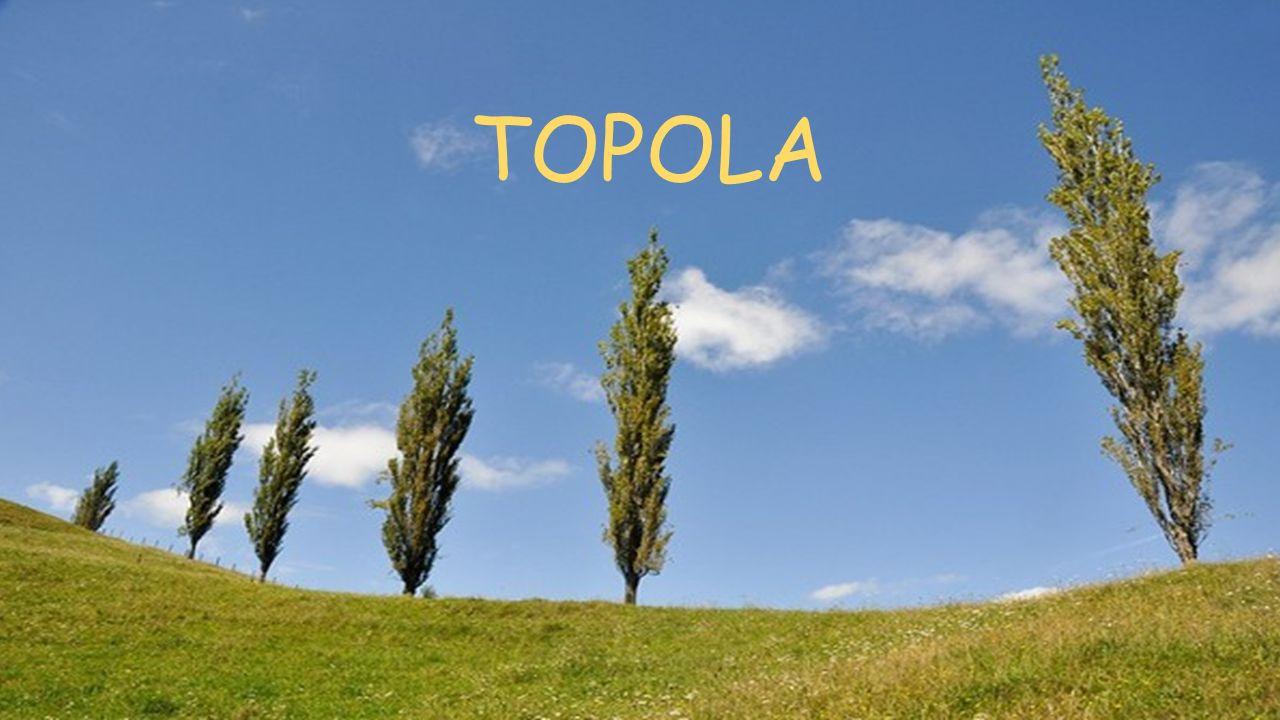 TOPOLA Topola 1
