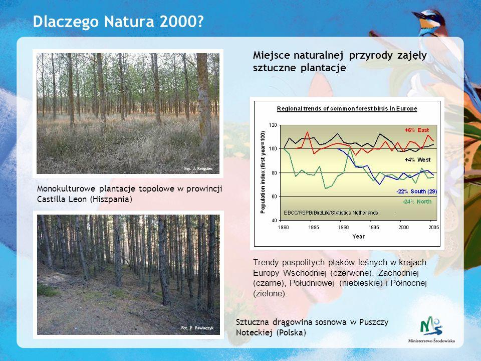 Dlaczego Natura 2000 Miejsce naturalnej przyrody zajęły sztuczne plantacje. Fot. J. Krogulec.