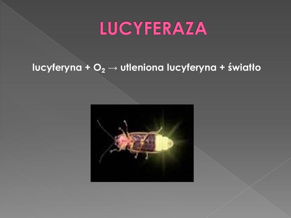 lucyferyna + O2 → utleniona lucyferyna + światło