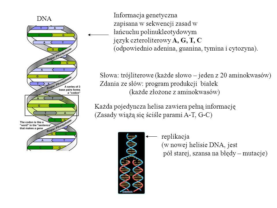 Informacja genetyczna zapisana w sekwencji zasad w łańcuchu polinukleotydowym język czteroliterowy A, G, T, C (odpowiednio adenina, guanina, tymina i cytozyna).