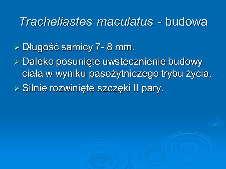 Tracheliastes maculatus - budowa