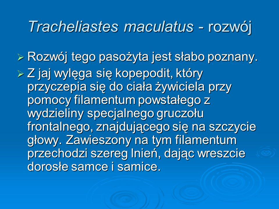 Tracheliastes maculatus - rozwój