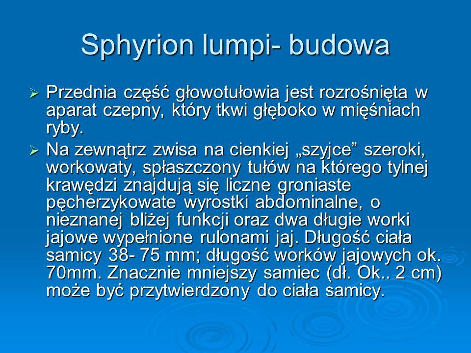 Sphyrion lumpi- budowa