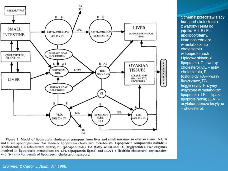 Schemat przedstawiający transport cholesterolu z wątroby i jelita do jajnika. A-I, B i E – apolipoproteiny, które pośredniczą w metabolizmie cholesterolu w lipoproteinach .