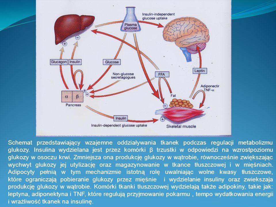Schemat przedstawiający wzajemne oddziaływania tkanek podczas regulacji metabolizmu glukozy.