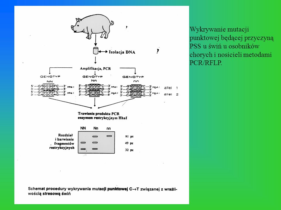 Wykrywanie mutacji punktowej będącej przyczyną PSS u świń u osobników chorych i nosicieli metodami PCR/RFLP.