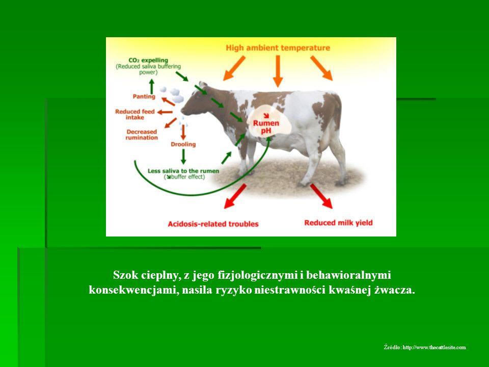 Szok cieplny, z jego fizjologicznymi i behawioralnymi konsekwencjami, nasila ryzyko niestrawności kwaśnej żwacza.