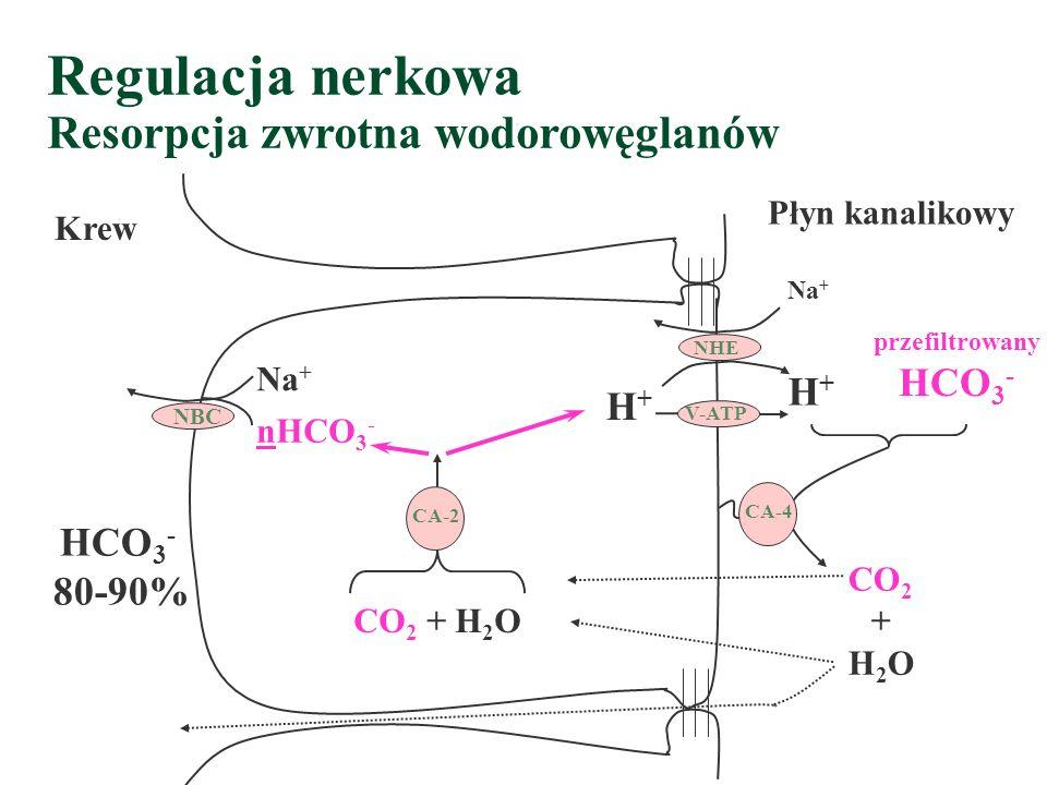 Regulacja nerkowa Resorpcja zwrotna wodorowęglanów